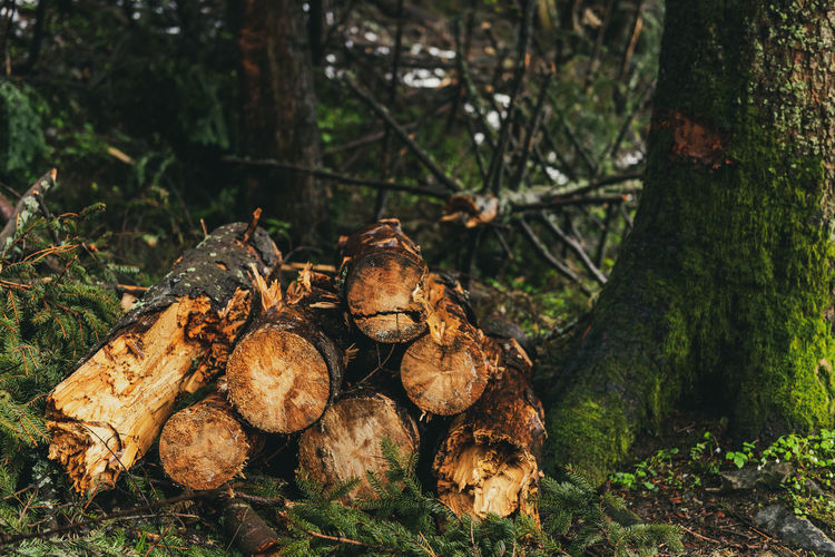Log trunks pile. wood trunks, timber harvesting in forest. wood cutting in forest.