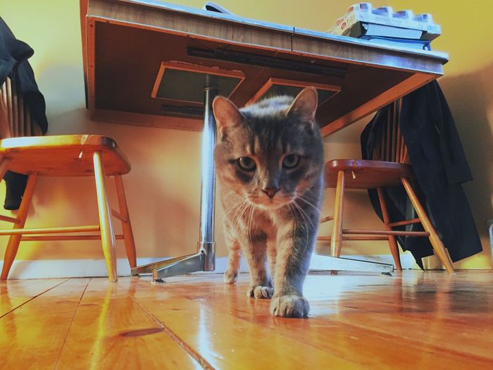 Cat Paws Hungry Cat Pet Food Wood Chairs Under The Table Cat Walking Pet Cat Housecat Curious Cat Cat Looking At Camera Cat Food Looking At The Camera Cat Pets Domestic Animals Hardwood Floor Domestic Cat Looking At Camera Home Interior