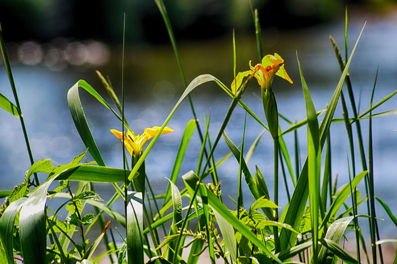 Cockermouth Iris Pseudacorus River Derwent Beauty In Nature Close-up Day Flower Flower Head Flowering Plant Focus On Foreground Fragility Freshness Green Color Growth Leaf Nature No People Outdoors Petal Plant Plant Part Vulnerability  Yellow Yellow Flag Iris Yellow Iris