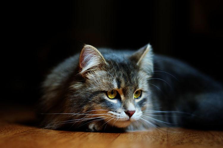 Eyem Cute Cats Cat♡ Cats Cat EyeEm Nature Lover Cute Cats Cats Of EyeEm Catoftheday Siberian