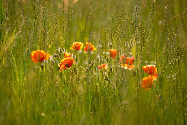 Close-up of orange poppy flowers on field