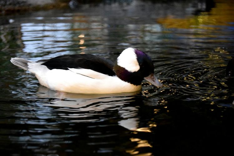 Bufflehead Duck Animal Floating On Water Bird Animal Themes Water National Mississippi River Museum Ducks Unlimited