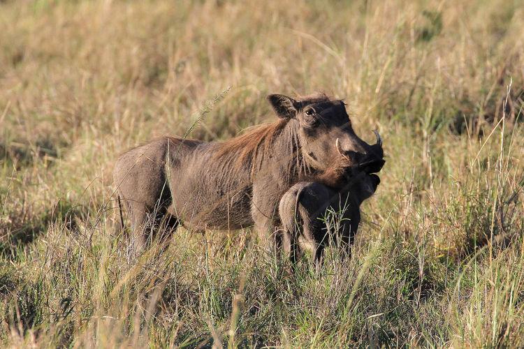 Wild Boar Standing On Field