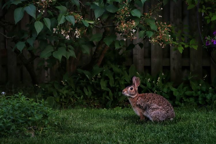 Out of all the photos I've taken of my bunnies this year with my new camera, this is my favourite. I followed around this mommy bunny in the backyard while she looked for her baby. It's amazing to watch them interact with each other : ) Bunny 🐰 Outdoors Backyard Photography Nature Beauty In Nature Flowers Light And Shadow Tree Fence Ontario, Canada Searching Evening Light Animal Themes Grass Green Color Blooming In Bloom The Portraitist - 2018 EyeEm Awards The Great Outdoors - 2018 EyeEm Awards