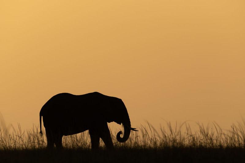 African bush elephant on horizon during sunset