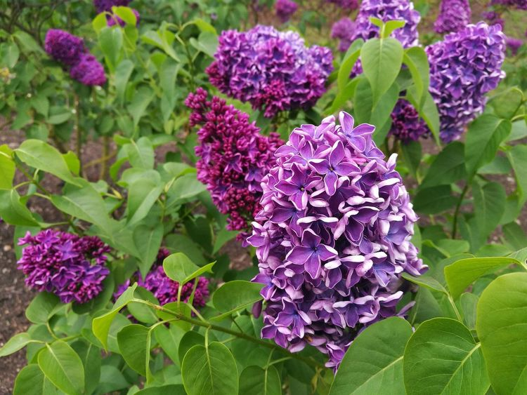 Lilac Flower Lilac Flowers Lilac Bush Lilac Tree Lilac Lilac Color Springtime Lilac Blossoms Spring Flowers Smartphone Photography P9 Huawei Purple Spring Flowers,Plants & Garden Blossoming  Lilacs Nature Flower Outdoors Plant Beauty In Nature Growth Garden Freshness Close-up