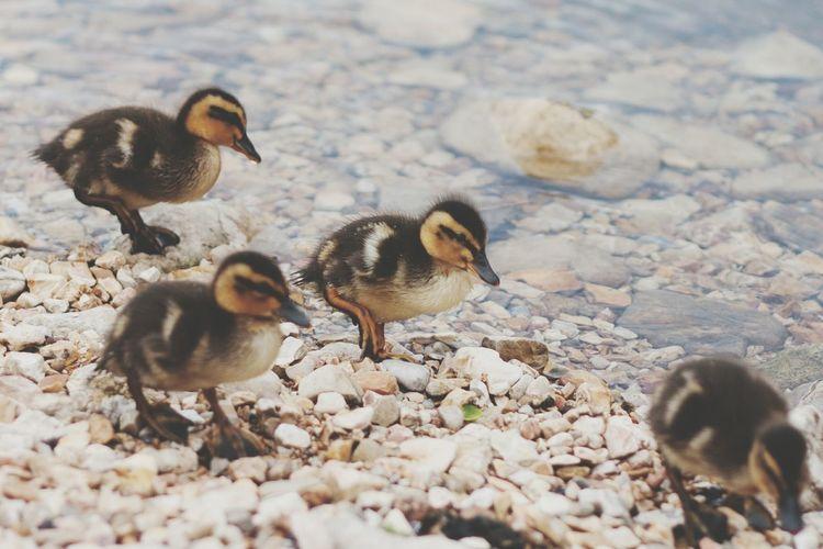 Ducklings follow