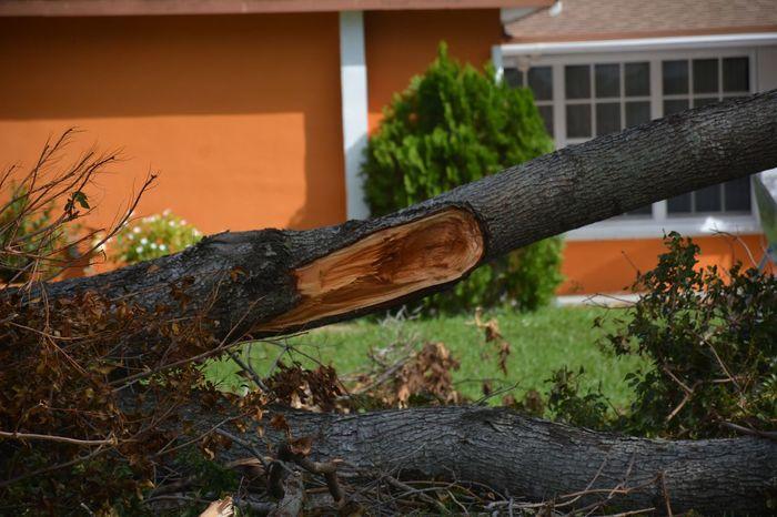 tree downed by Hurricane Irma 2017 Hurricane Irma 2017 Downed Trees Downed Tree Hurricane Damage Fallen Tree Aftermath TreePorn Hurricane Season  Outdoors No People Damages Debris Storm Damage South Florida Storm Debris