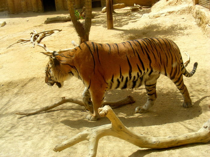 Animal Themes Animals In The Wild Day Mammal Nature No People Outdoors Tiger Tiger-love Tree
