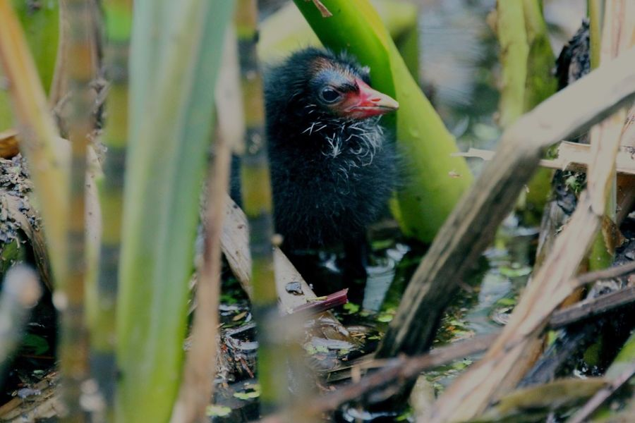In hiding... Bird One Animal Animal Themes Chicken - Bird No People Livestock Young Bird Nature Day Domestic Animals Plant Outdoors Close-up Moorhen Moorhen Chick Chick Ducklings Baby EyeEmNewHere