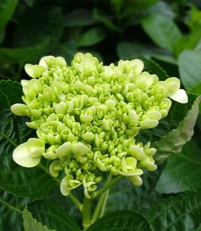 Green Color Plant Nature Beauty In Nature Growth Leaf Freshness Close-up Outdoors Flower No People Fragility Day Flower Head Hydrengea White Beautiful Blooming Freshness Flower Bud Genting Highlands Malaysia