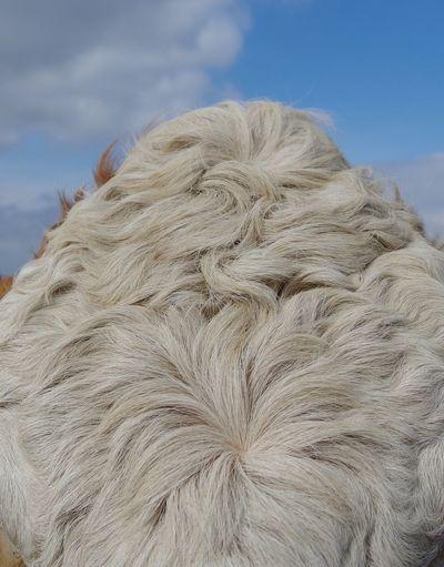 Herd doo Cattle Herd Beast Head Quiff