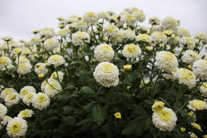 Chrysanthemum Morifolium Color Portrait Freshness Nature Plant Backgrounds Beatuiful Beauty In Nature Blooming Blossom Chrysanthemum Colorful Freshenes Macro Morifolium, Perennial White Yellow