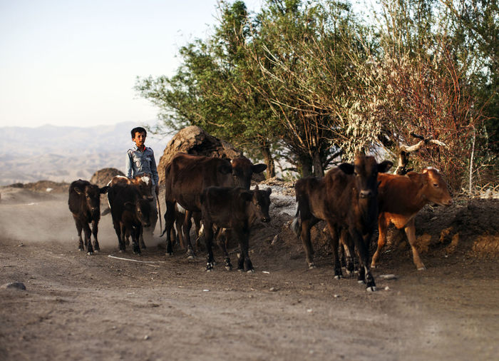Man with cows and calfs on dirt road against sky