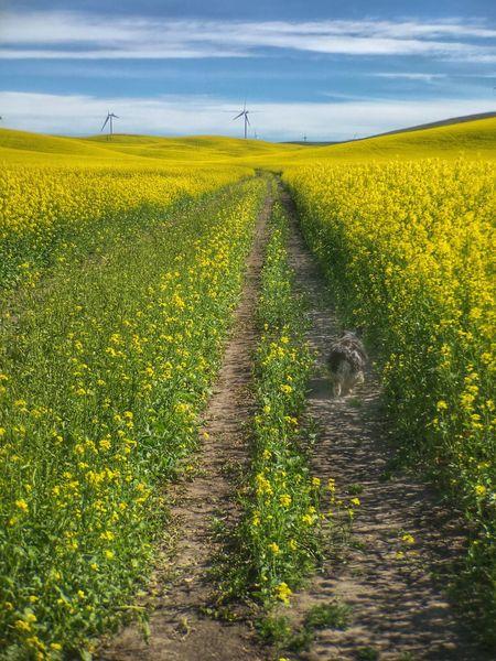 Cute dog walking through the mustard fields in the Palouse Mustard Fields Palouse  Dog Walking