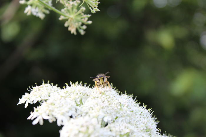 Animal Themes Animal Wildlife Beauty In Nature Bee Close-up Day Flower Flower Head Focus On Foreground Fragility Freshness Growth Insect Nature No People One Animal Outdoors Petal Plant Pollen Pollination Springtime Symbiotic Relationship White Color