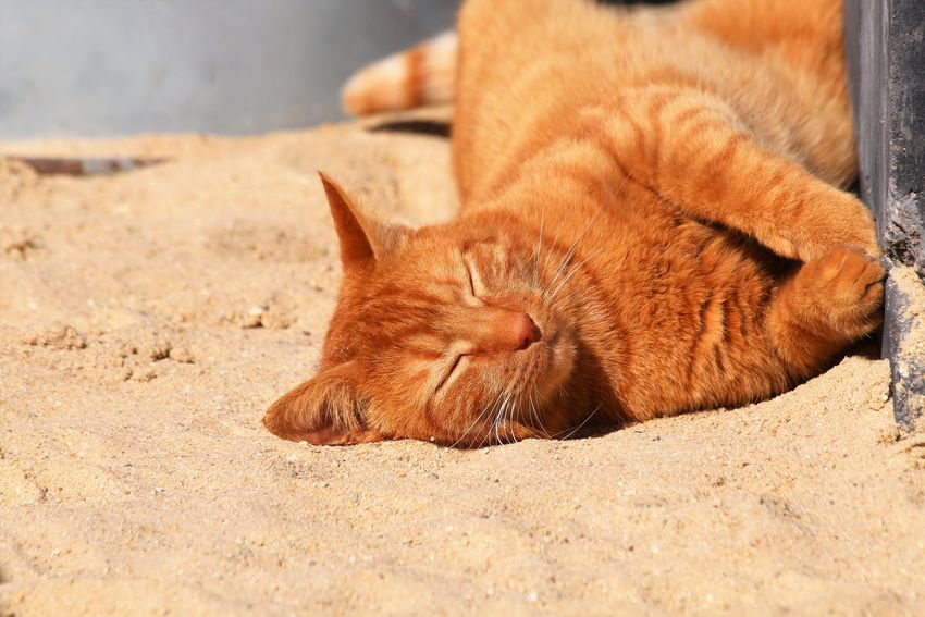 Animal Themes Beautiful Cat Cats Of EyeEm Day Domestic Animals Enjoying The Sun Ginger Cat Huisdier Lovely Mammal One Animal Outdoors Pets Rode Kater Sand Sunny Day
