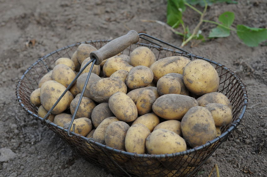 Basket CEOPS Day Food Freshness Harvest Healthy Eating Nature No People Outdoors Potato Potatoes
