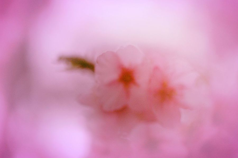 Doze まどろむ。Showcase March Pink Spring 桜 春 Cherry Blossoms Blossom Sakura Colors Spring Time Flowers Dreamfantasy Hazy  Bokeheffect Bokeh Airy Flowers
