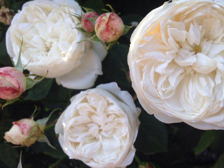 Fair Bianca-David Austin Rose-My All Time Favorite Rose-taken tonight 14may-from my garden-redleft.weebly.com Roses Fair Bianca White