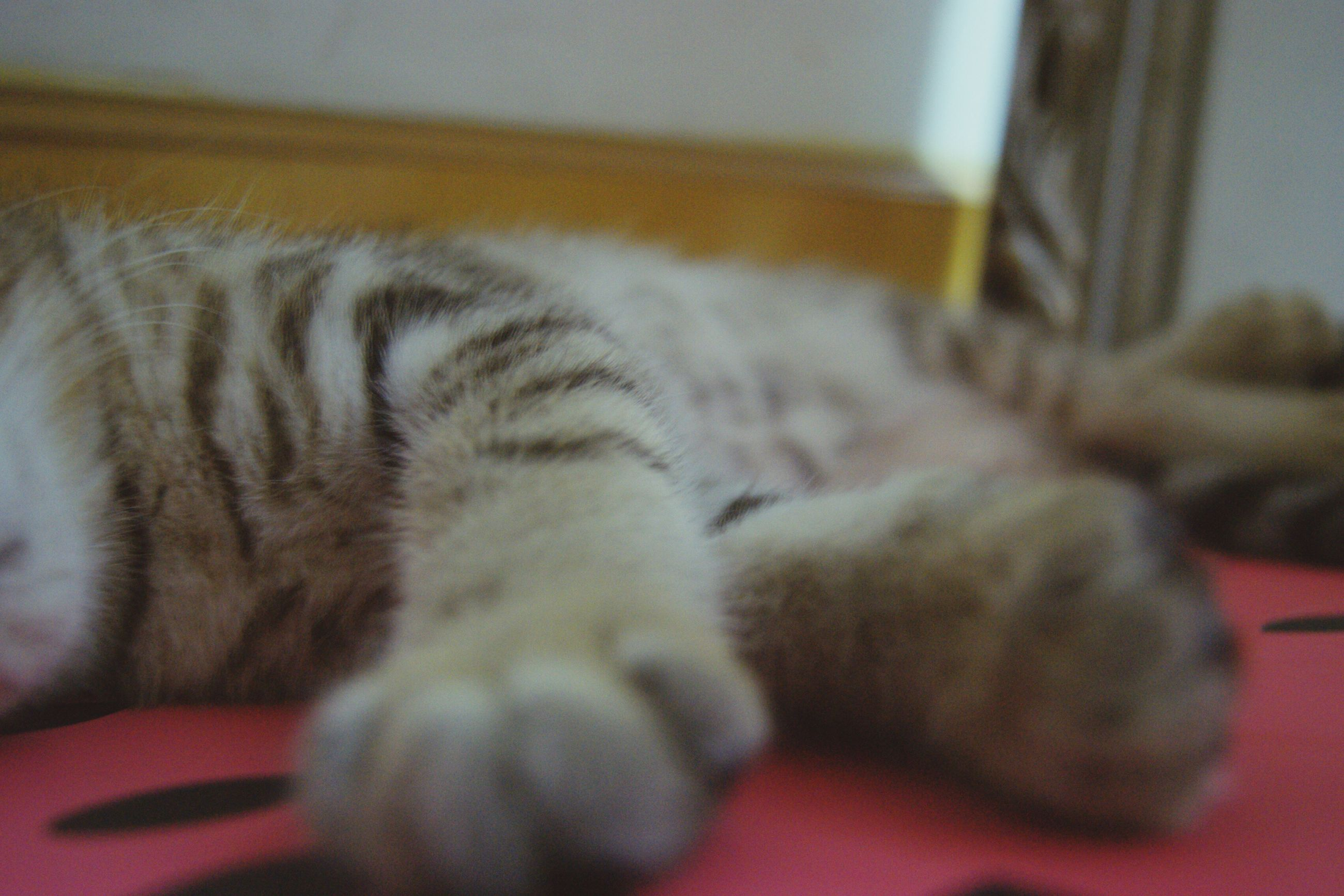 domestic cat, feline, sleeping, indoors, pets, relaxation, lying down, animal themes, one animal, paw, mammal, domestic animals, no people, close-up, day