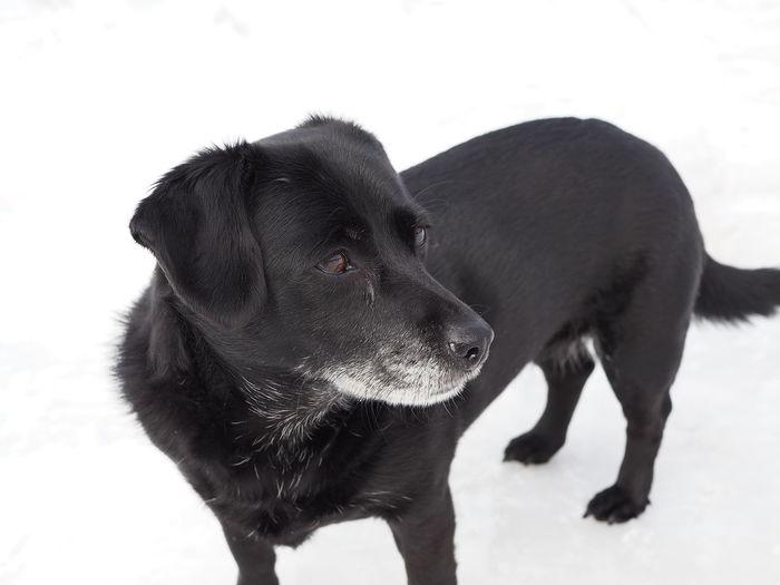 Pets Dog Snow White Background Cold Temperature Animal Tongue Retriever Black Labrador