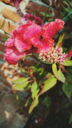 Second Acts Flower Growth Plant Fragility Nature Beauty In Nature Pink Color Petal Outdoors Day Flower Head Close-up No People Springtime Freshness Red EyeEmNewHere