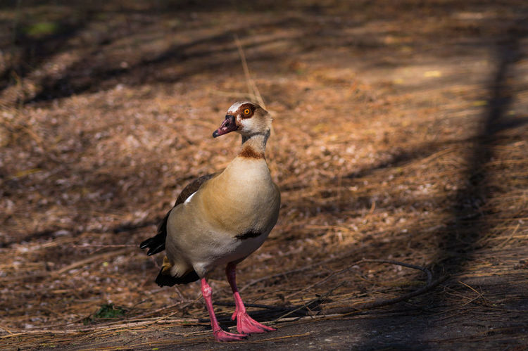 Egyptian Goose in the forest Alopochen Aegyptiacus Anatidae Animals Beak Birds Close-up Egyptian Goose Forest Geese Goose Lakeview Nature Nile Goose Nopeople Ornithology  Outdoor Water Birds Wild Duck Wildlife
