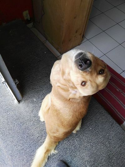 Best Dog Best Dog Ever Goldy Bruno El Labrador One Animal Pets Animal Themes High Angle View Domestic Animals Dog Mammal No People Indoors  Close-up Day Golden Golden Retriever Curiosity Curious