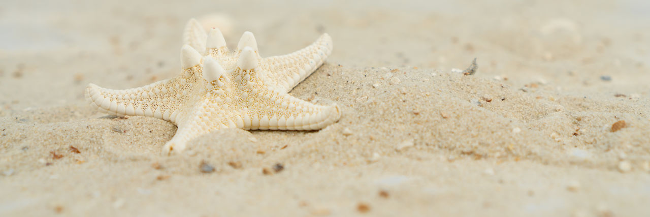 A starfish in the sand at the beach, panorama Sand Beach Starfish  Background Summer Sea Nature Holiday Star Texture Vacation Ocean Shell Frame Natural Travel Tropical Seashell Seashore Coast Water Sun Space Copy Maritime Panorama Banner Animal Wildlife One Animal Animal Land Sea Life Marine Selective Focus Star Shape Close-up Day Animal Themes Animals In The Wild