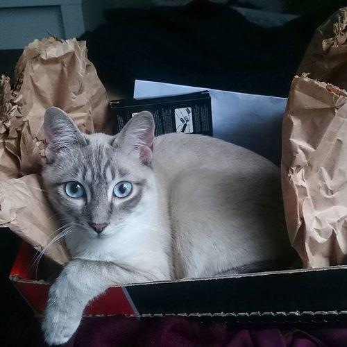 Eine kleine Nagellackbestellung macht auch Blancito glücklich. Unser schönster Kater 💙 Blanco_the_cat Thaicat Siamcat