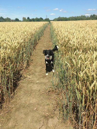 Playing Corn Yellow Landscape Pets Domestic Domestic Animals Mammal Canine Dog One Animal Land Landscape Field Nature
