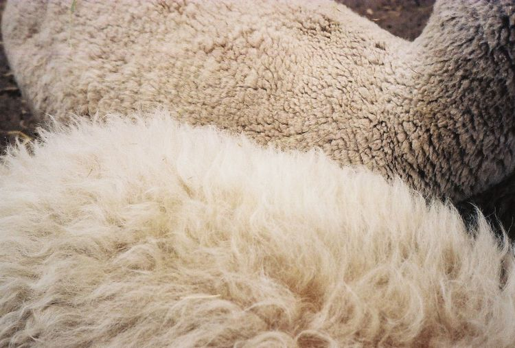 Film Film Photography 35mm Film 35mmfilmphotography Ishootfilm Berlin Analog Analogue Photography Texture Animal Mammal Animal Themes Sheep Domestic Animals Hair Wool Softness Close-up Domestic Animal Body Part Fur Pets Animal Hair Zoo Farm