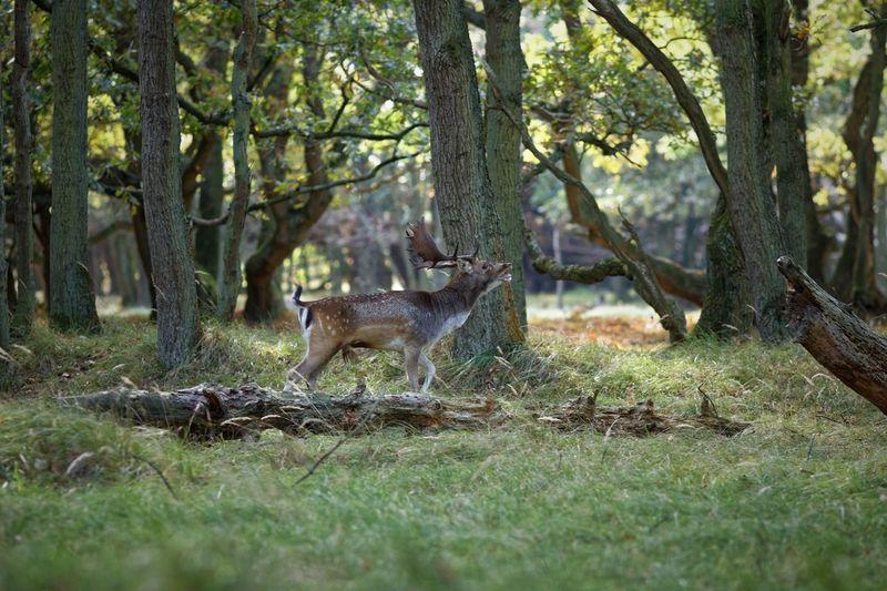 i want it all, and i want it now - in the mood In The Shadows Anybody? Testosterone Rut Bugling Buck Tree Plant Animal Animal Themes Mammal Animal Wildlife Animals In The Wild Deer Nature Forest
