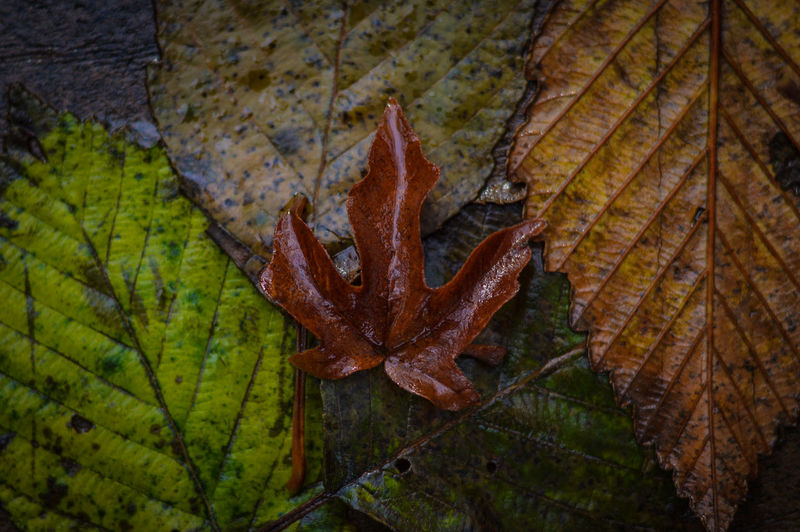 High angle view of wet leaf during autumn