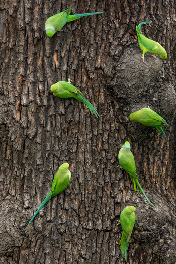 Ring-necked Parakeets family meeting Beauty In Nature Flock Green Color Nature Outdoors Psittacula Krameri Ring-necked Parakeet Ringneck Parakeet