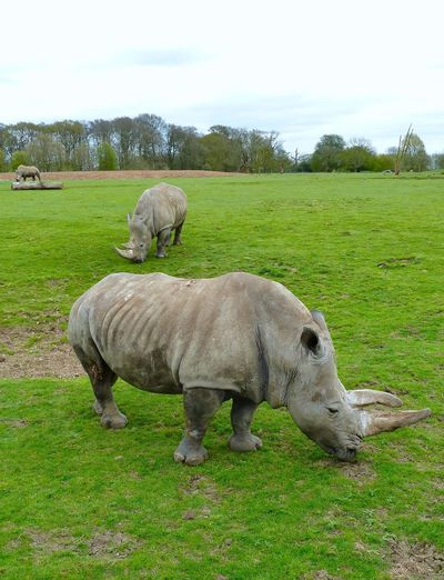 Rhinoceros Whipsnade Zoo Mammal Field Animal Themes Grass Green Color Domestic Animals Livestock No People Day Nature Sky Grazing Tree Outdoors Full Length Beauty In Nature