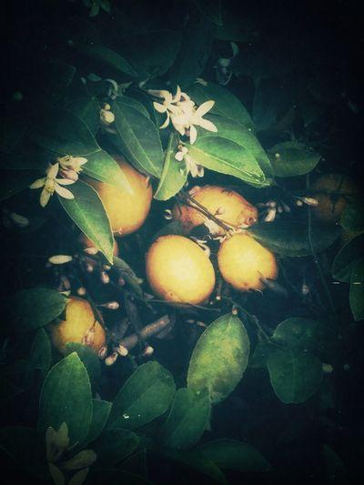 Lemon Tree Plants Trees