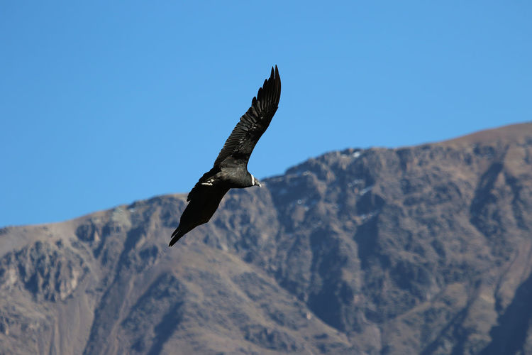 Low angle view of a condor flying