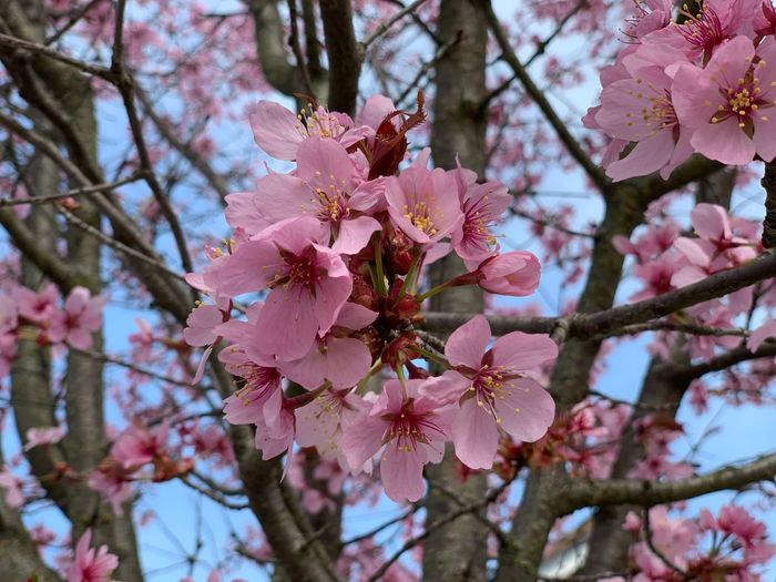 Plant Flowering Plant Flower Fragility Beauty In Nature Growth Tree Vulnerability  Freshness Pink Color Branch Blossom Springtime Petal Day Nature Low Angle View Close-up No People Focus On Foreground