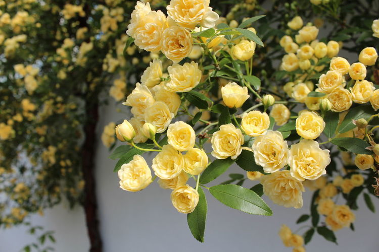 Green Beauty In Nature Blooming Close-up Flower Flower Head Leaf Nature No People Petal Plant Roses Tree Yellow
