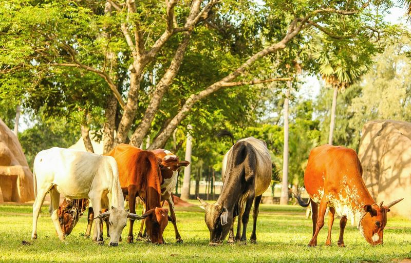 Animal Themes Domestic Animals Tree Mammal Livestock Grass Standing Domestic Cattle Field Branch Herbivorous Full Length Green Color Front View Day Plant Grassy Outdoors Countryside Growth Cows In The Feilds Zoology CreativePhotographer Working Animals Green Color