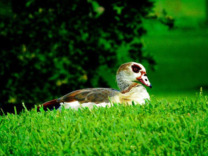 Ducks Nature
