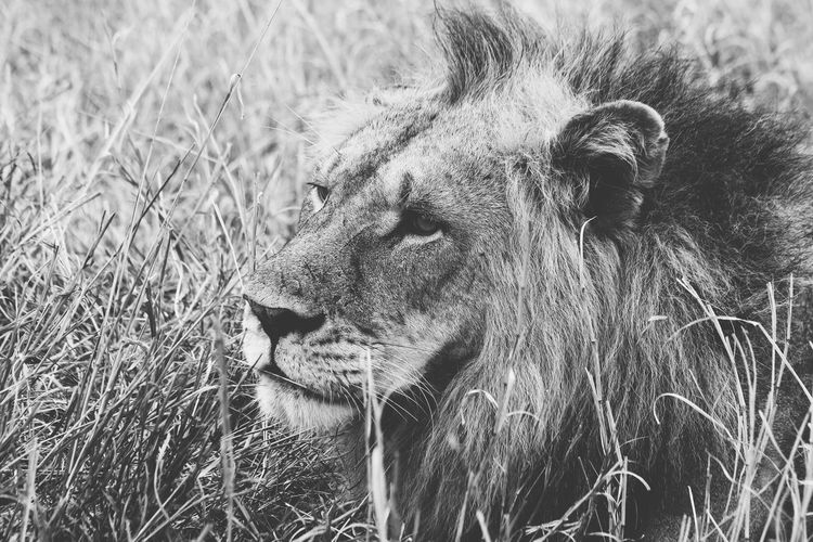Close-Up Of Lion Resting On Grassy Field