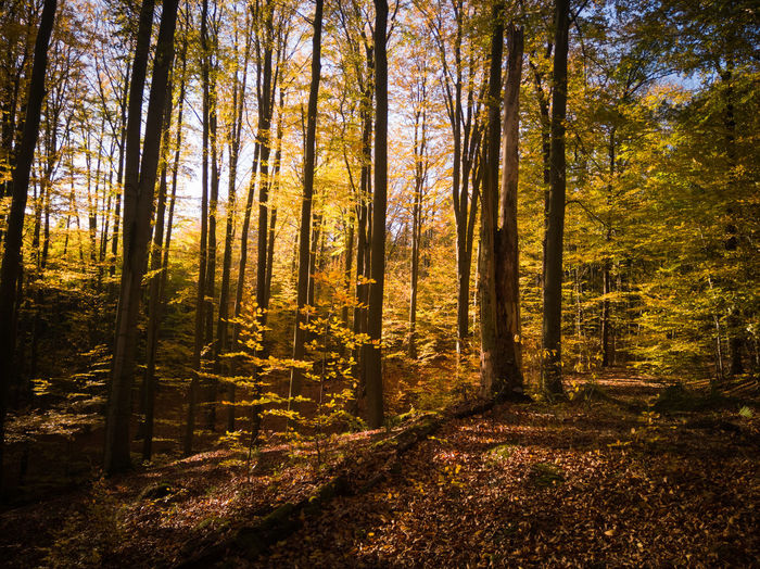 Buchenwald im Herbst. Sunlight No People Old Trees Autumn Autumn colors Beech Forest Leaves Nature Nature Photography Forest Photography Tree Sunset Tree Trunk Sunlight Tree Area WoodLand Sky Landscape Autumn Collection Fallen Shining
