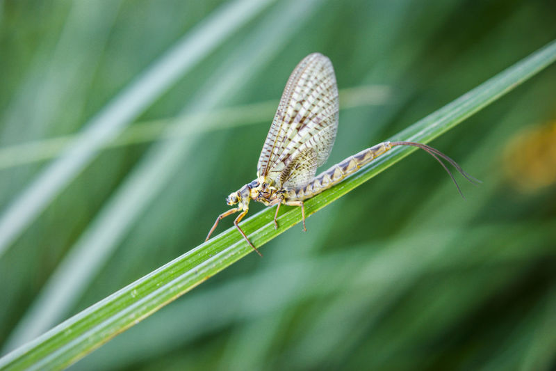 Close-up Focus On Foreground Green Color Insect Leaf Mayfly Nature Wildlife
