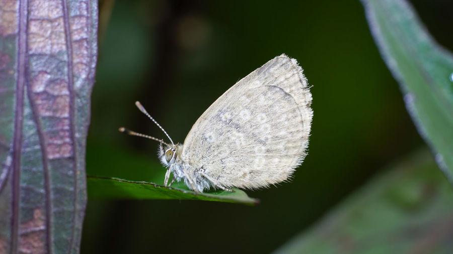 台灣小灰蝶 Butterfly