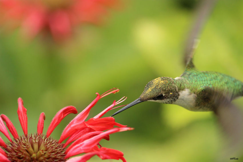 Humming Bird and Bee-balm Beak Animal Themes Animals In The Wild Beauty In Nature Bee-balm Close-up Day Fragility Green Hummingbird Growth Hummingbird Nature No People One Animal Outdoors Plant Wings
