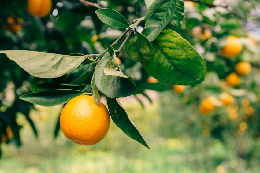 Mallorca Mediterranean  Beauty In Nature Branch Citrus Fruit Close-up Day Focus On Foreground Food Food And Drink Freshness Fruit Green Color Growth Hanging Healthy Eating Leaf Nature No People Orange - Fruit Orange Color Orange Tree Outdoors Tree