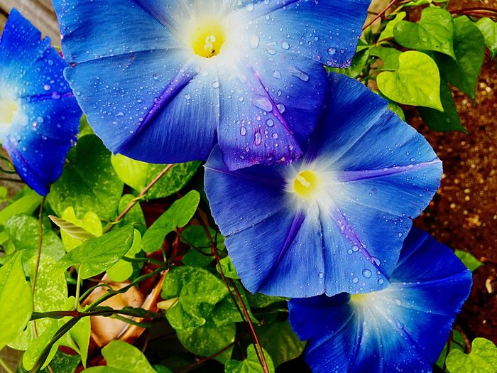 Rain Drops On My Morning Glories 💦 Colour Of Life